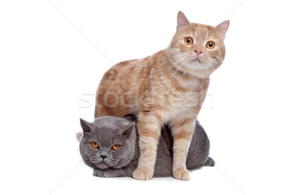 青 英国の ショートヘア 赤 メイン州 猫 ストックフォト © eriklam