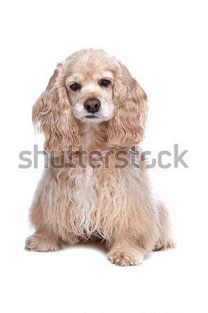 American Cocker Spaniel Stock photo © eriklam