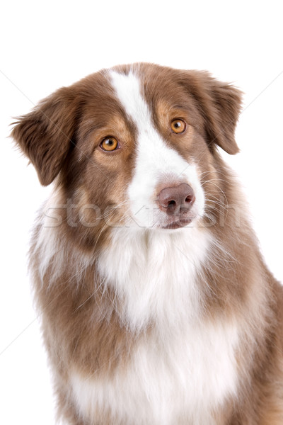 The head of an australian shepherd dog  Stock photo © eriklam