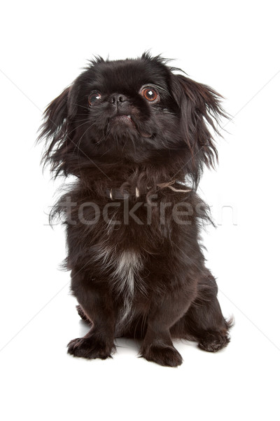 Japanese Spaniel Stock photo © eriklam