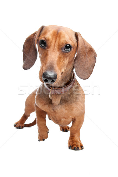 Dachshund Stock photo © eriklam