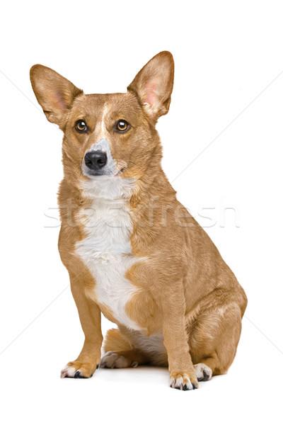 Stock fotó: Vegyes · fajta · kutya · juhász · keverék · állat