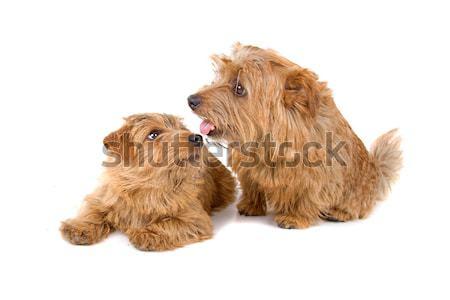 Dois norfolk terrier cães bonitinho isolado Foto stock © eriklam