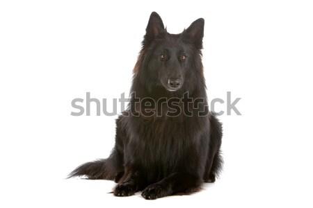 Negro de pelo largo Bélgica pastor aislado blanco Foto stock © eriklam