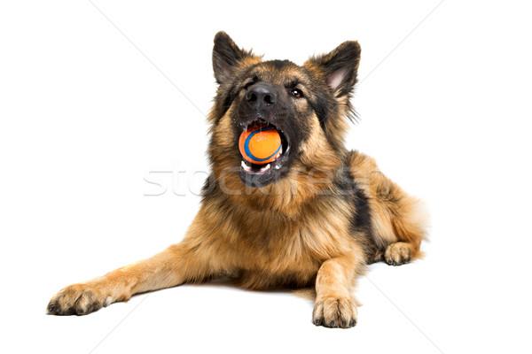 Juhász rág narancs labda fehér kutya Stock fotó © eriklam