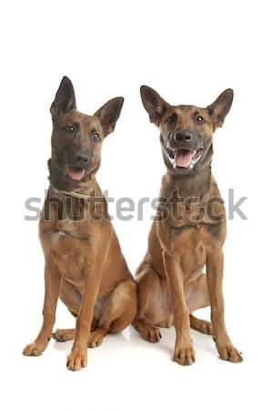Kettő belga juhászkutya kutya barátok állat kiskutyák Stock fotó © eriklam