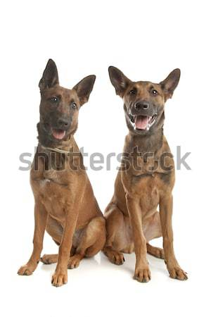 Due pastore belga cane amici animale cuccioli Foto d'archivio © eriklam