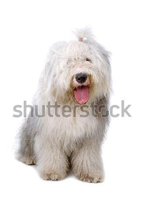 Old English Sheepdog Stock photo © eriklam