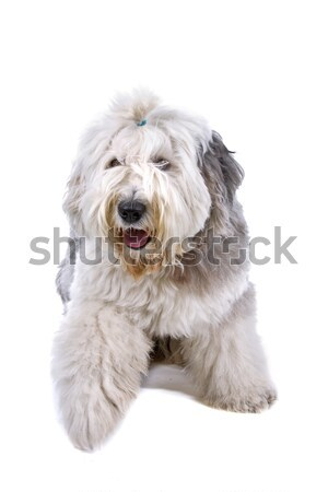 Vieux anglais chien de berger vue haletant Photo stock © eriklam