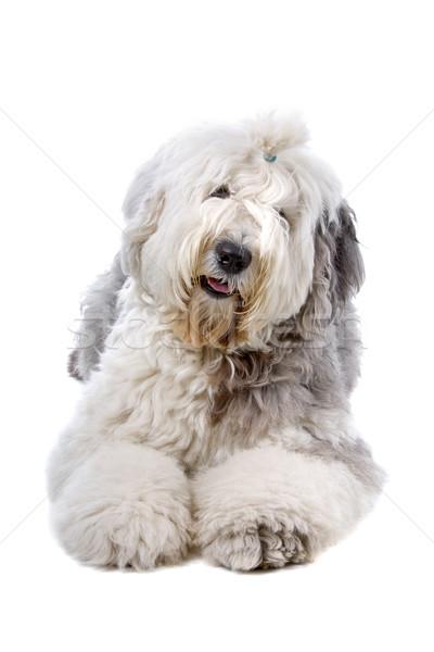 Old english sheepdog (bobtail) Stock photo © eriklam