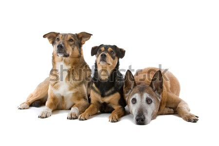 group of three mixed breed dogs Stock photo © eriklam