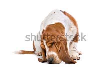 гончая землю белый животного Cute коричневый Сток-фото © eriklam