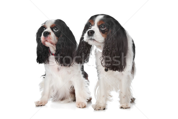 Two Cavalier King Charles Spaniels Stock photo © eriklam
