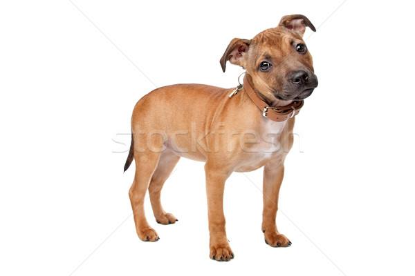 купить нас стаффордширский бультерьер продажа щенков в братске вашему