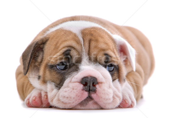 Photo stock: Bulldog · chiot · cute · isolé · blanche