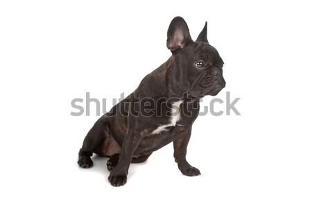 French Bulldog Stock photo © eriklam