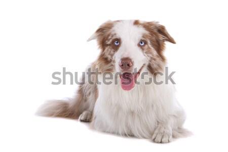 Stok fotoğraf: Border · collie · çoban · köpeği · yalıtılmış · beyaz · köpek · mavi
