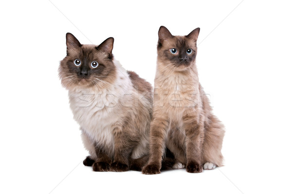 Couple of Ragdoll cats Stock photo © eriklam