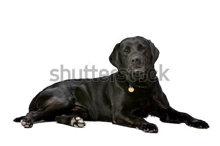 Siyah on yıl eski Labrador beyaz Stok fotoğraf © eriklam