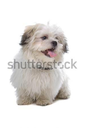 boomer, mixed breed dog Stock photo © eriklam