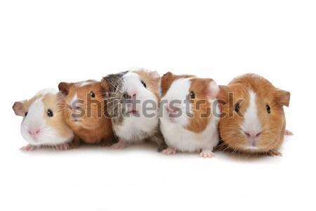 Stok fotoğraf: Beş · Gine · domuzlar · beyaz