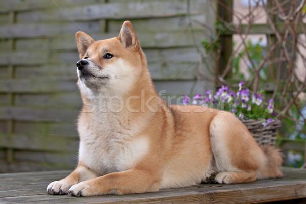 Shiba Inu dog Stock photo © eriklam