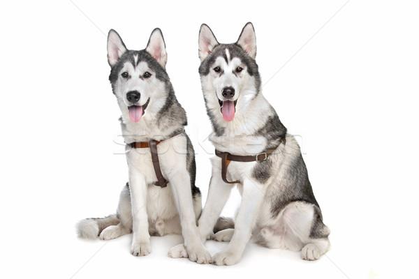 Boğuk iki yavru beyaz köpek arka plan Stok fotoğraf © eriklam