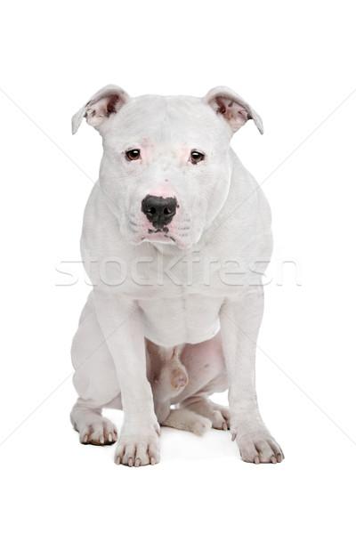 Amerikai bulldog fehér kutya háttér stúdió védelem Stock fotó © eriklam