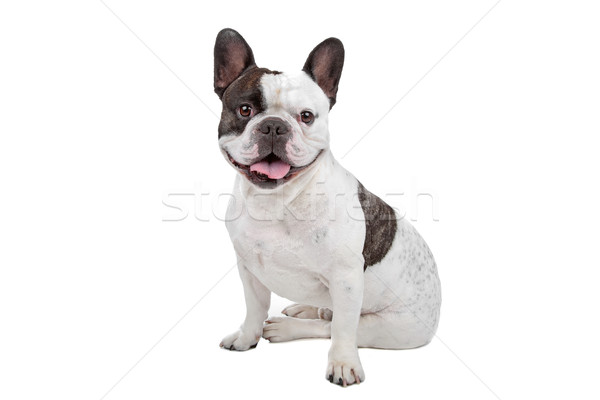 Francese bulldog isolato bianco Foto d'archivio © eriklam