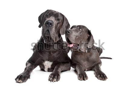 Two grey great Dane dogs Stock photo © eriklam