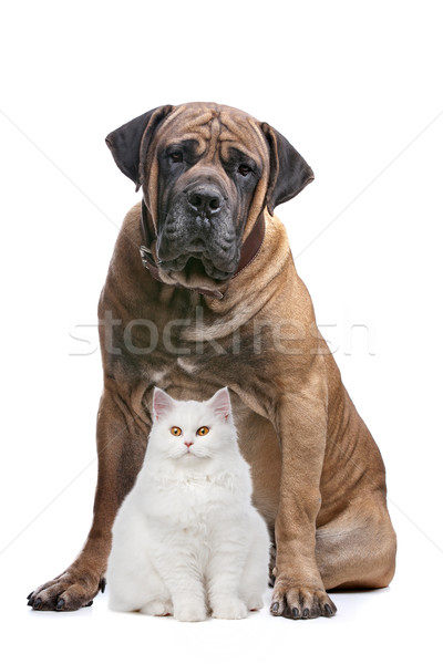 strong dog and a show cat Stock photo © eriklam