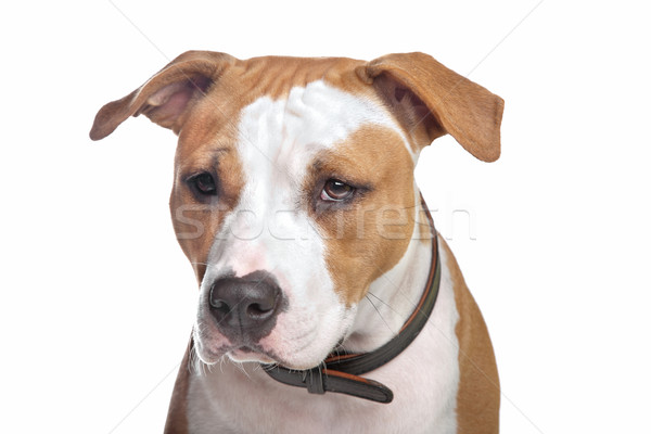 Staffordshire terrier fehér kutya háttér állat fehér háttér Stock fotó © eriklam