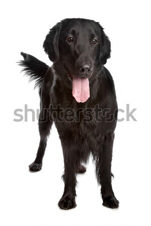 Retriever witte hond achtergrond dier witte achtergrond Stockfoto © eriklam