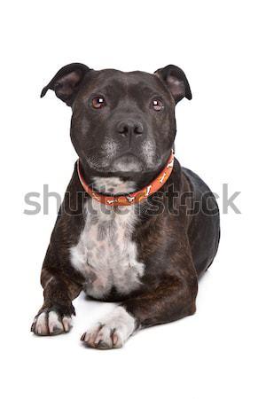 Staffordshire terrier fehér kutya fiatal állat személyzet Stock fotó © eriklam