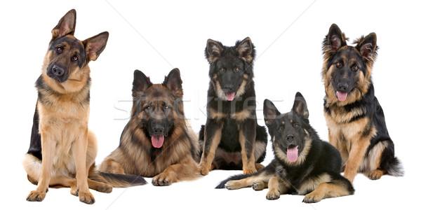 Group of German Shepherd dogs Stock photo © eriklam