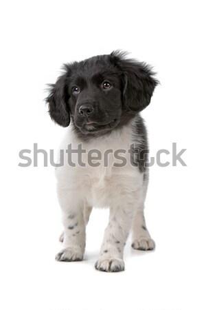 Stabyhoun puppy Stock photo © eriklam