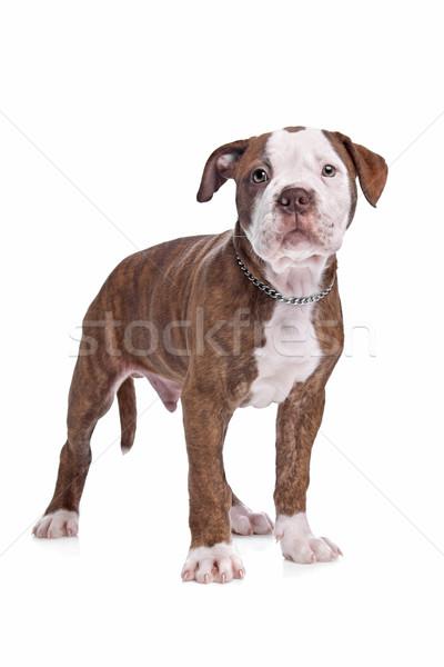 Branco cachorro forte buldogue marrom Foto stock © eriklam