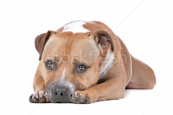 Stock fotó: Bika · terrier · fehér · kutya · díszállat · fáradt