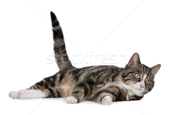 猫 白 背景 肖像 スタジオ かわいい ストックフォト © eriklam
