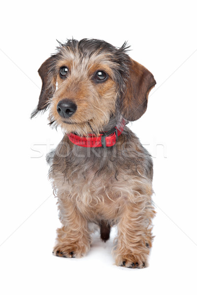 Wire-haired Dachshund Stock photo © eriklam