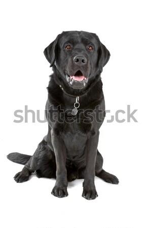 Nero labrador retriever cane fronte view seduta Foto d'archivio © eriklam
