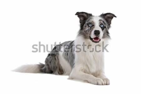Border collie isolato bianco cane confine Foto d'archivio © eriklam