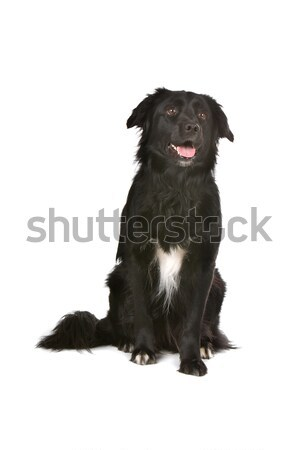 Stock photo: Mix flatcoated retriever/golden retriever dog