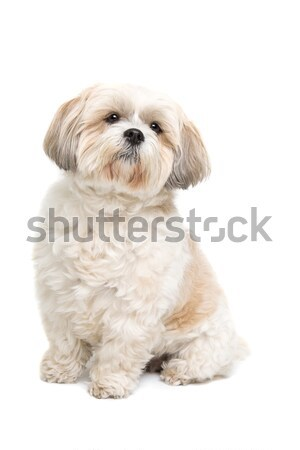 small fluffy white dog Stock photo © eriklam