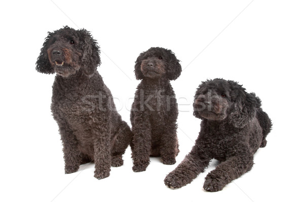 two labradoodle and one poodle dog Stock photo © eriklam