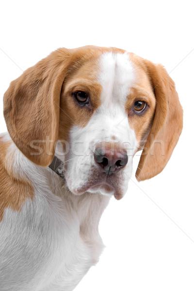 Kafa tazı köpek yalıtılmış beyaz yüz Stok fotoğraf © eriklam