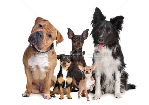 group of five dogs Stock photo © eriklam