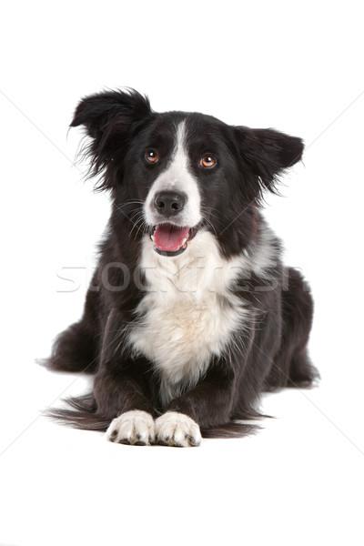 Border collie odizolowany biały psa granicy Zdjęcia stock © eriklam