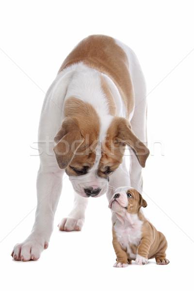 big dog small puppy Stock photo © eriklam