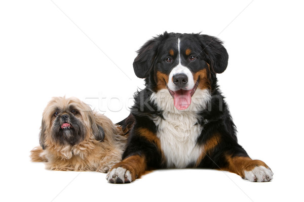 Bernese mountain and shih tzu dog Stock photo © eriklam